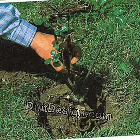 Place the rose bush in the center of the hole, at the bottom of which you will have formed a small mound.