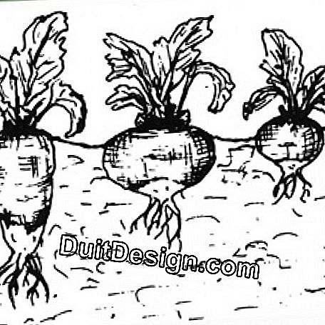 We distinguish between long turnips (left), flat turnips (middle) and round turnips (right).