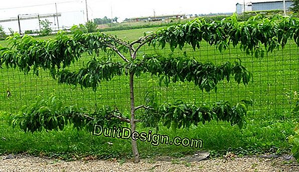 Trimming a fruit tree in a trellised form