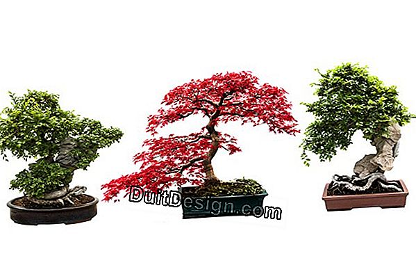 How to grow a bonsai?