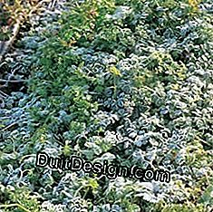 Chervil in winter