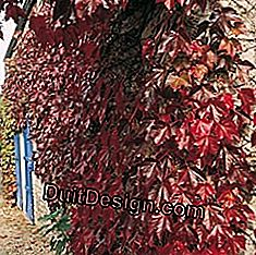 Plante Virginia creeper